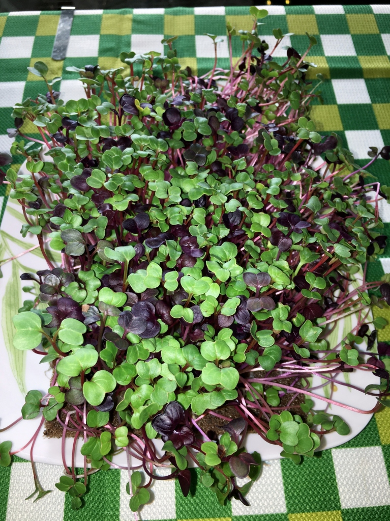 colorful radish microgreens