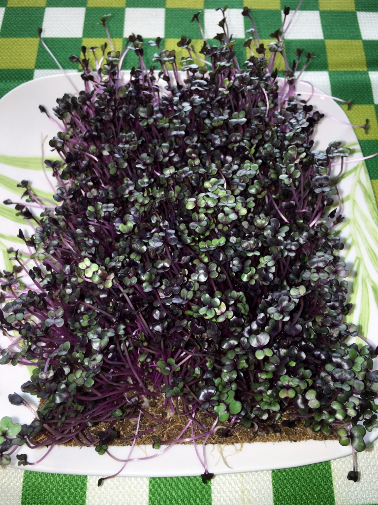 red cabbage living microgreens