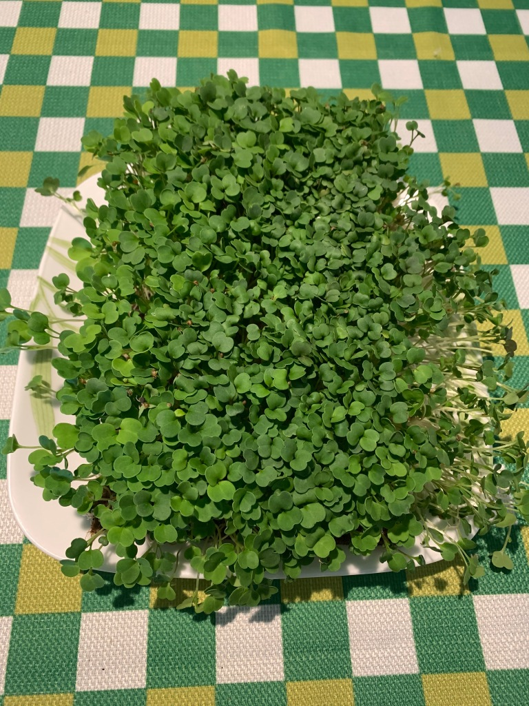 Colorado arugula microgreens